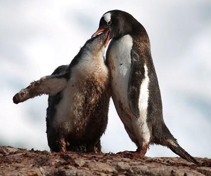 علماء: البطريق حل محل الديناصورات