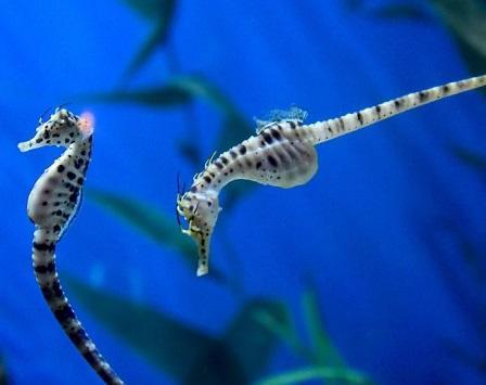 هل ذكر فرس البحر يحمل ويلد؟