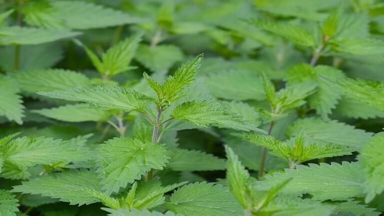 فوائد نبات القراص لجسم الإنسان