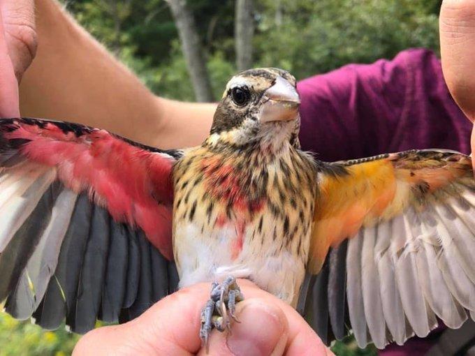 العثور على طائر نادر نصفه ذكر ونصفه الآخر أنثى