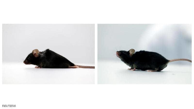 تجارب واعدة تنجح في استعادة الحركة لفئران مشلولة