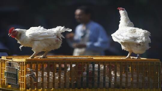 ماذا تعرف عن إنفلونزا الطيور؟