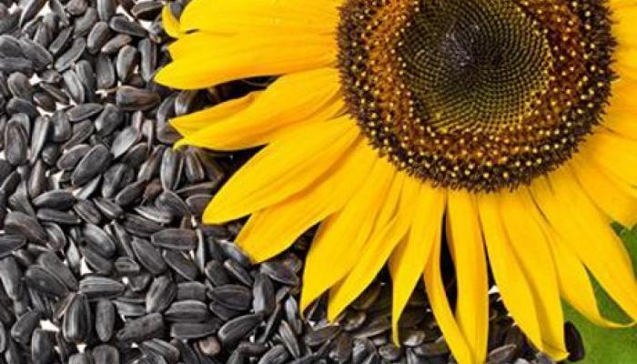 فوائد صحية عجيبة لبذور عباد الشمس