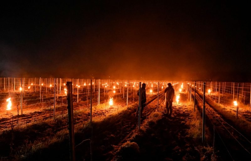 تدفئة حقول العنب في ألمانيا - صور