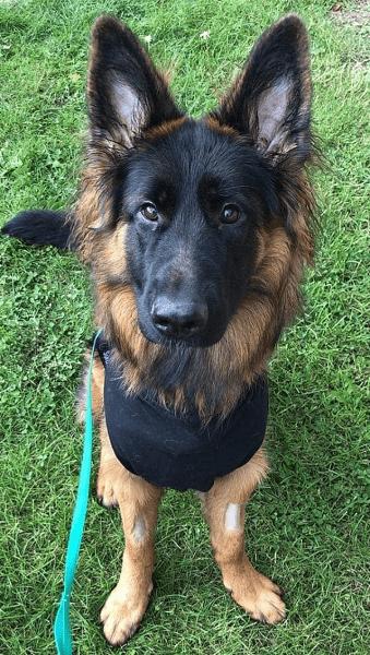 كلب يخضع لعملية جراحية بعد ابتلاعه سيخ كباب