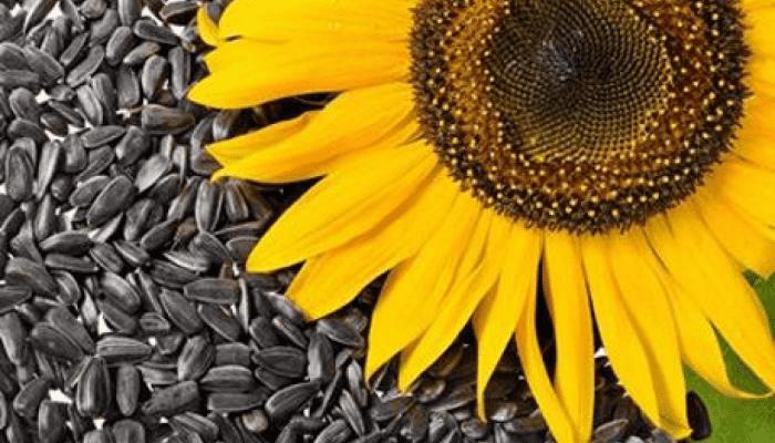 16 فائدة لبذور دوار الشمس ستدهشك