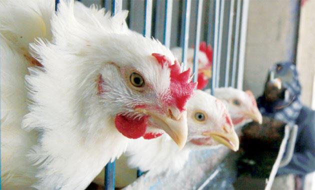 حماية المستهلك تطالب بالسماح باستيراد الدجاج