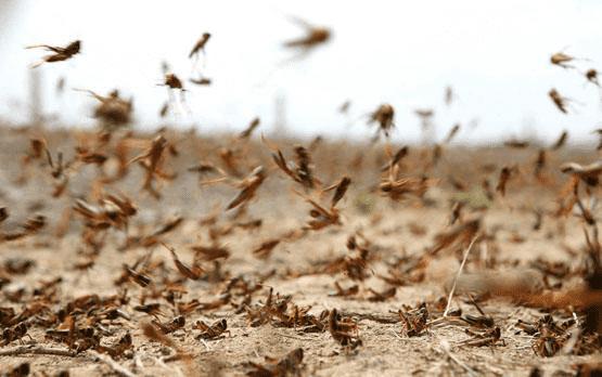 الزراعة: كميات محدودة من الجراد بغور الصافي