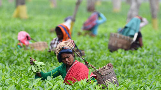 أسعار الشاي مرشحة للارتفاع بسبب الوضع في الهند