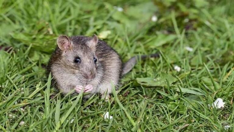علماء صينيون يجبرون الفئران الذكور على الإنجاب!