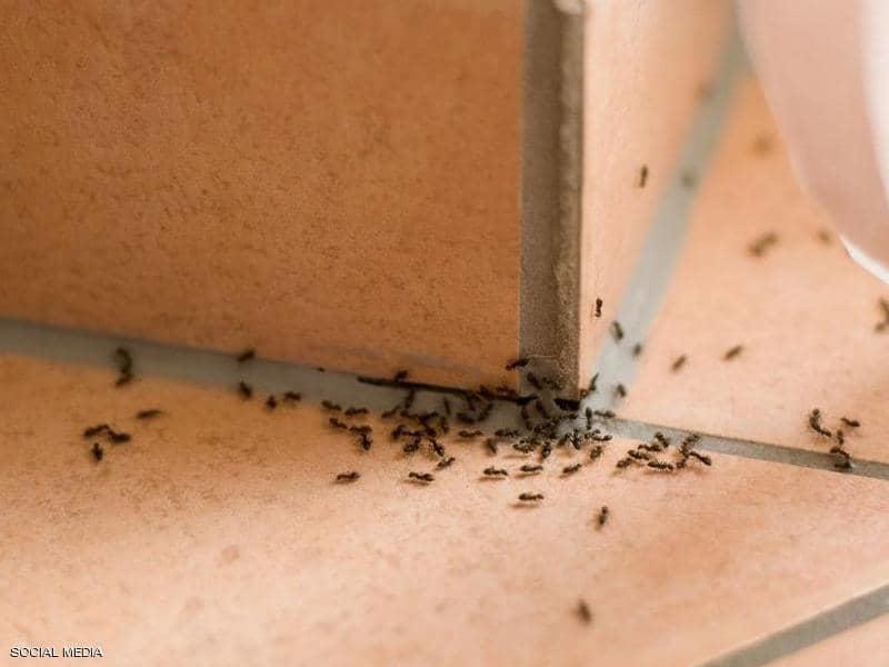 التخلص من نمل المنازل بسرعة وسهولة