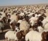 صدرنا 130 الف خروف الى الخليج